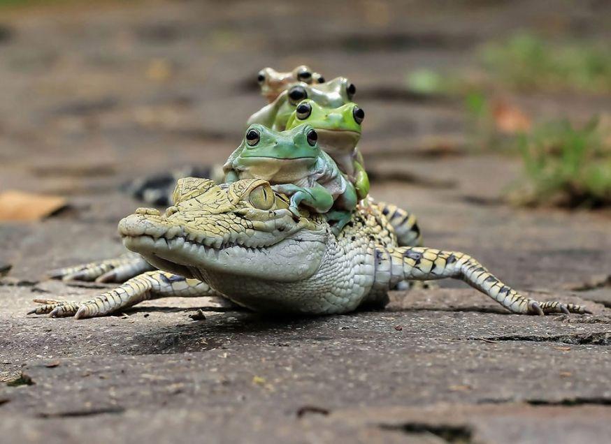 Kikkers liften mee op krokodil