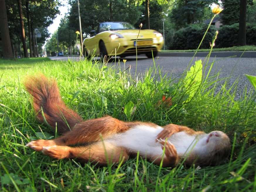 Autoweg, eekhoorn weg ©WWF Mees van Eerd