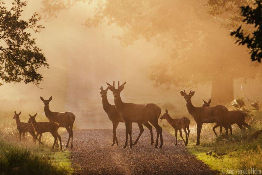 spotlight lezersfoto 10 juli 2018, Jaap van den Helm, deer on path