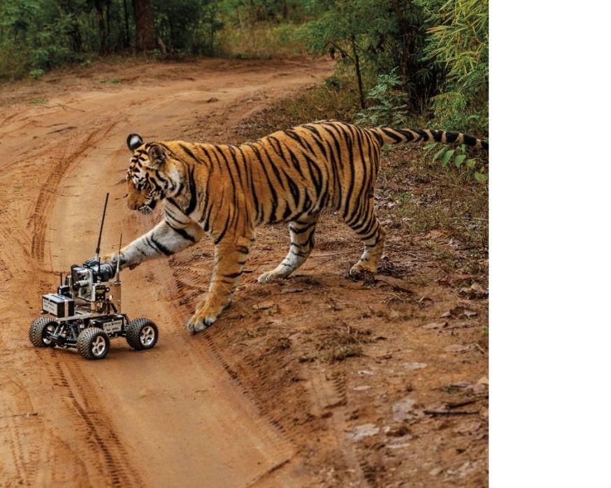 tijger steve winter national geographic