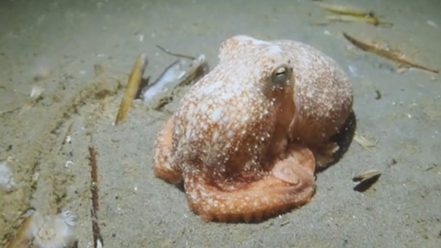 mark barto maakt unieke beelden octopus, eerste inktvis in Noordzee